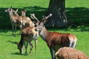 Deer Scram Repellent Review An Effective Granular Deer Repellent
