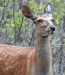 10 All Natural Deer Repellents That Work: Forget About Homemade Deer Repellent Recipes!