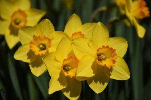 Deer Daffodils