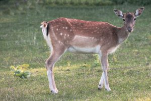 Dealing with Deer Helping You Get Rid of Deer For Good Part 4
