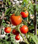 How to Protect Tomatoes From Deer The Best Deer Control Products for the Job