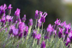 lavender deer